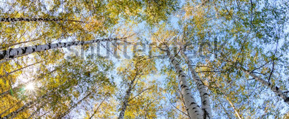 stock-silver-birch-slider